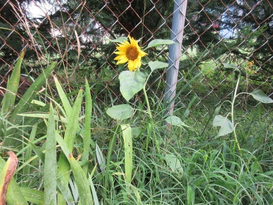 sunflowerbloom3
