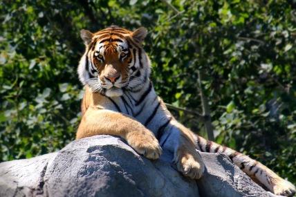 tiger-2196128_960_720