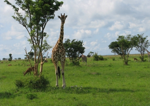 giraffe-194245_960_720